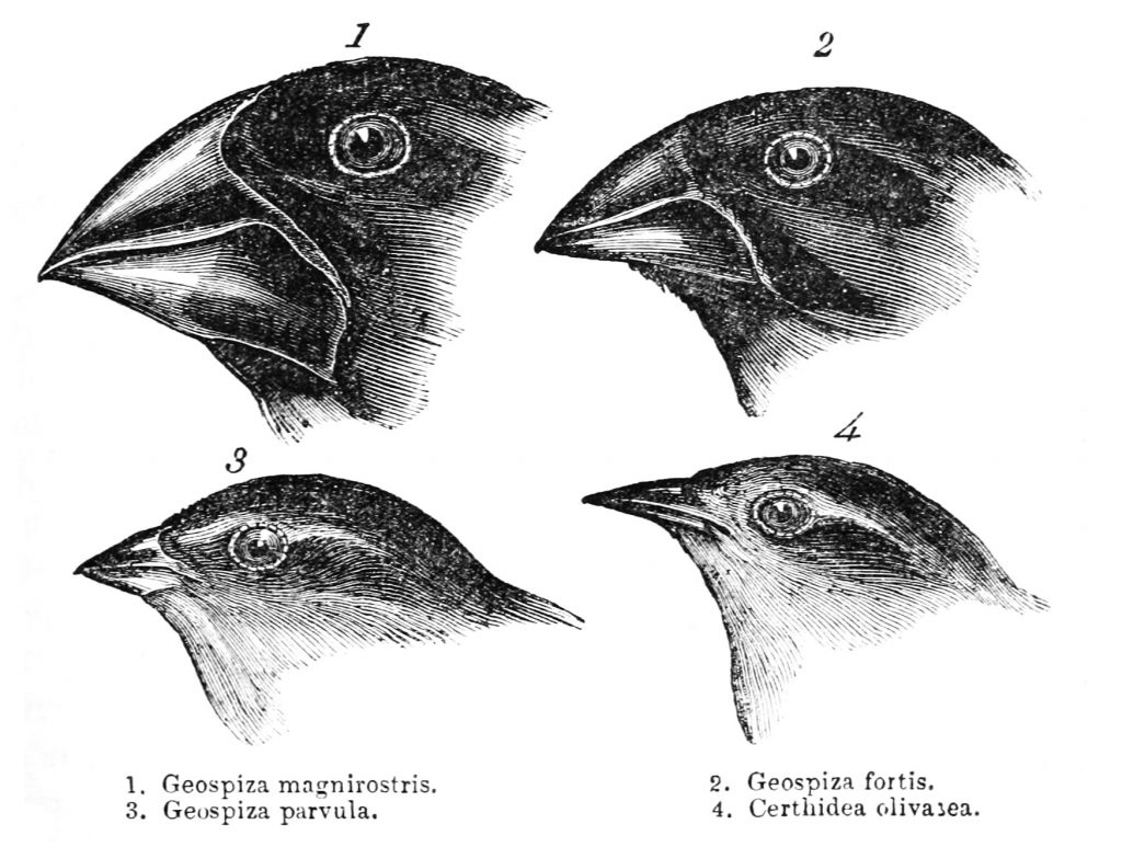 Drawing of four species of Galapagos Finches, showing the different beak shapes